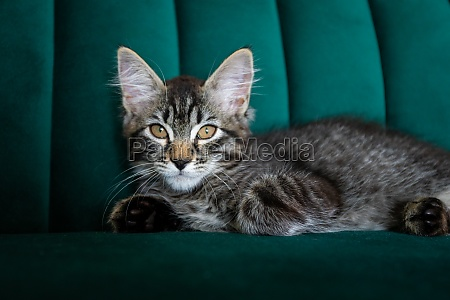 kitten is very beautiful gray