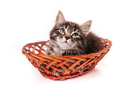 cute little kitten in wicker basket