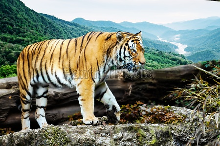portrait of a tiger in the