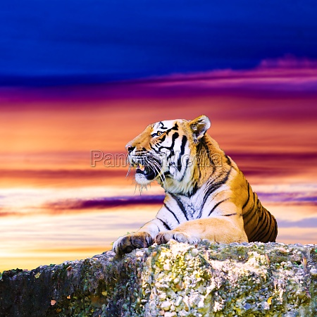 tiger portrait on the rock with