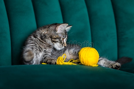 kitten plays with a ball of