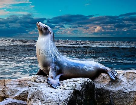 seal sea lion posing on a