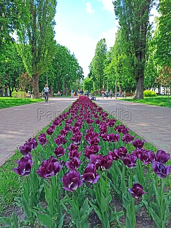lilac tulips on flower bed in