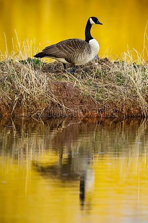 a wild canada goose