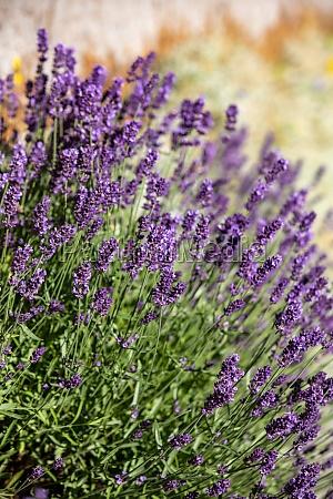 the blooming lavender flowers in