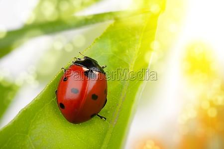 ladybug macro