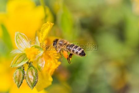 honey bee with pollen pellets flight