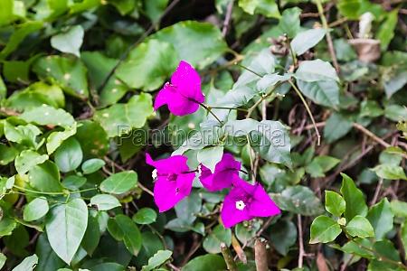purple flowers of bougainvillea aberdare kenya