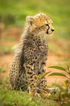 cheetah cub sits looking right on
