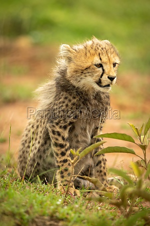 cheetah cub sits looking right in