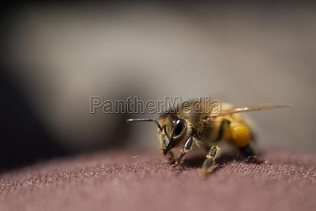 western honey bee or european honey