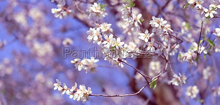 branch with white almond flowers on