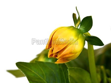 yellow dahlia in the pot