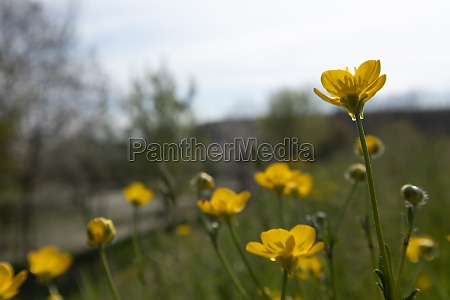 yellow buttercup flower in green background