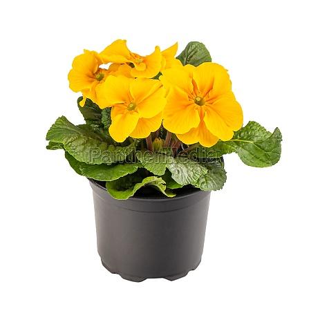 yellow primrose or primula vulgaris