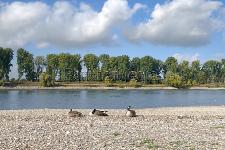 canada geese at rhine river germany