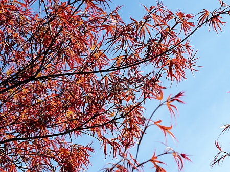 beautiful red japanese maple leaves against