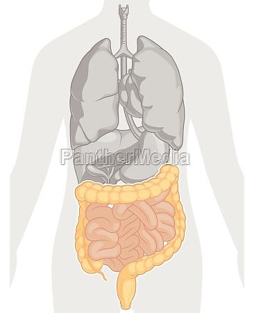 intestine digestive system body part anatomy