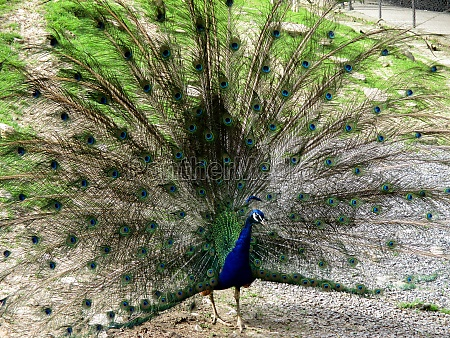 peacock shows itself in all its