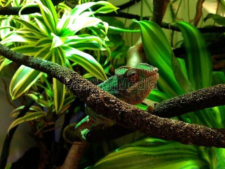 furcifer pardalis chameleon explores its habitat