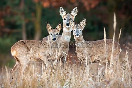 family of roe deer standing on