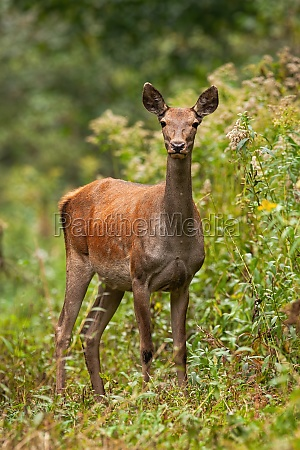 female red deer standing in forest