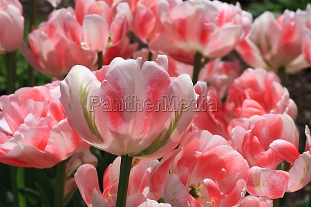 variegated red tulips