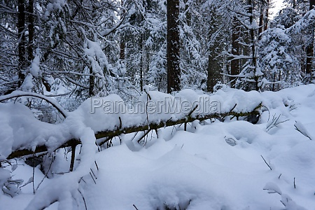 sunny winter wonderland in the forest