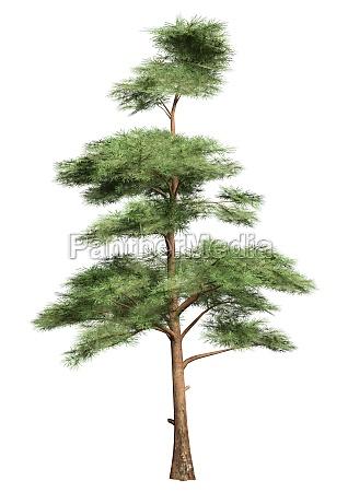 3d rendering pine tree on white