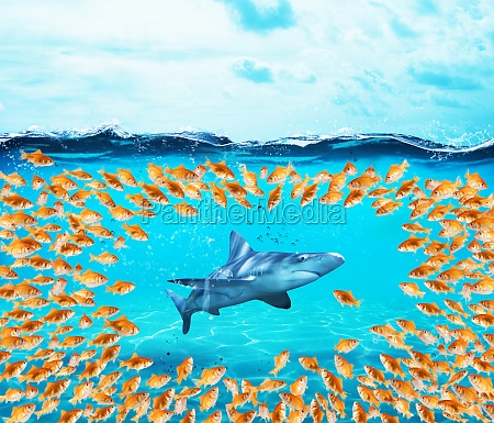 goldfishes group surround the shark concept