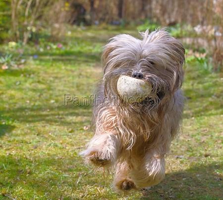 tibetan terrier dog running in the