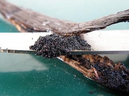 scraping vanilla pulp from a pod