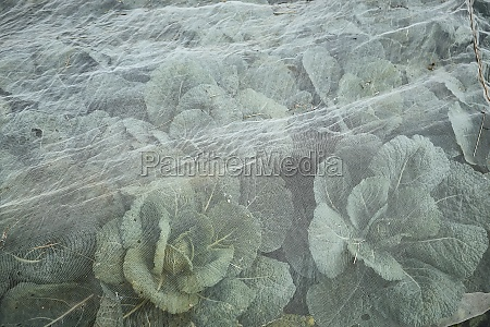 savoy cabbage in the field