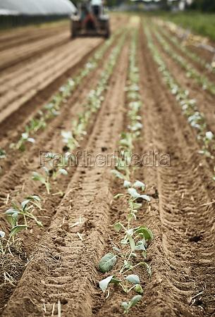 tractor planting kohlrabi seedlings