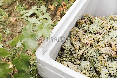 freshly harvested white grapes in a