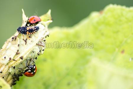 spikey ladybug larvae hunting for louses