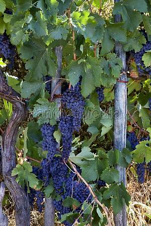 sangiovese black grapes