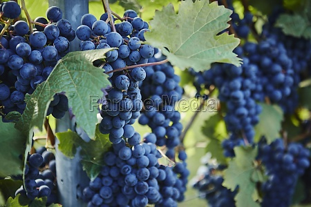 red grapes on the vine