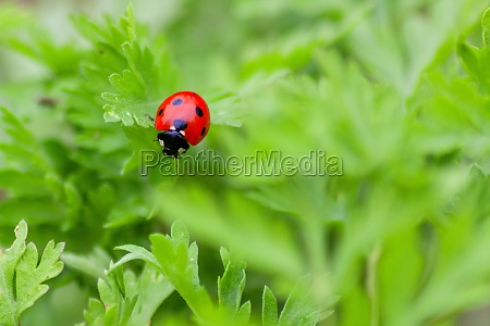 cute little ladybug with red wings
