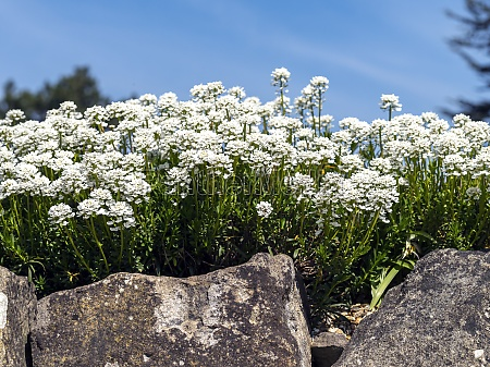 evergreen candytuft flowers in a rock