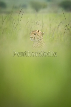 cheetah sits looking left in blurry
