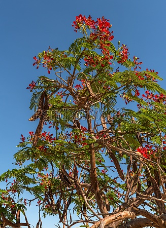 mimosa tree with red flowers in