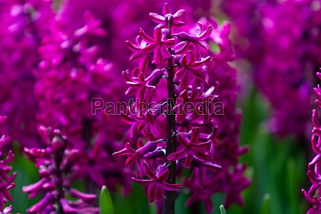 hyacinth flowers close up in the