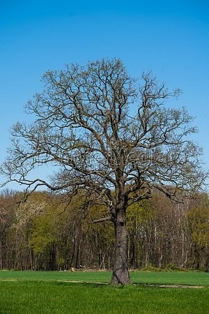 field tree and blue sky
