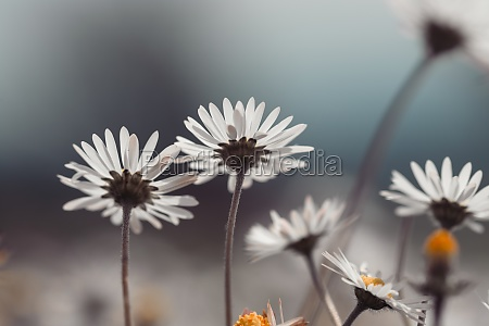 daisies in springtime close up picture