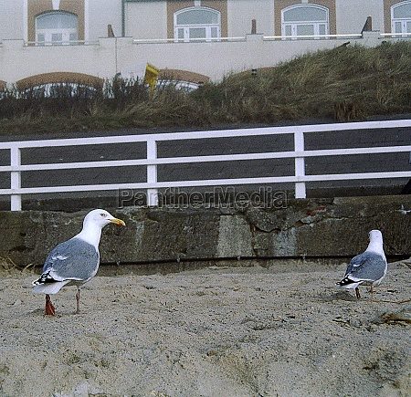 sea gulls at the beach of