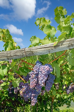 vineyard and grapes in south tirol