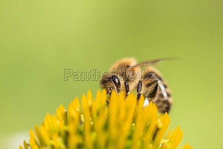 beautiful honey bee closeup on flower