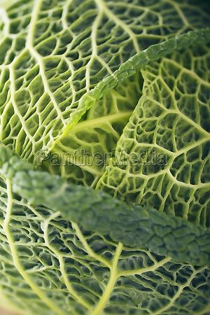 savoy cabbage head close up
