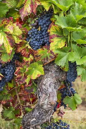 ripe red wine grapes on the